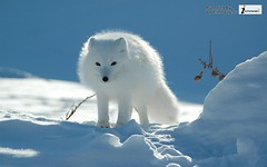 white fox animal