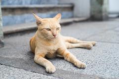DSC01232 (TuRiWa) Tags: cat thailand sony om zuiko a7 5014