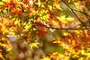 momiji. fz200 (harum.koh) Tags: japanesemaple acer plantae acerpalmatum magnoliophyta magnoliopsida sapindaceae sapindales tracheophyta taxonomy:class=magnoliopsida taxonomy:order=sapindales taxonomy:kingdom=plantae taxonomy:genus=acer taxonomy:phylum=magnoliophyta taxonomy:family=sapindaceae taxonomy:common=japanesemaple taxonomy:binomial=acerpalmatum fz200 taxonomy:species=palmatum 雞爪槭 taxonomy:superphylum=tracheophyta taxonomy:common=雞爪槭