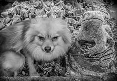 A Pomeranian called Boo. (CWhatPhotos) Tags: pictures camera portrait dog pet brown white black cute monochrome animal digital pen that lens lite four mono photo blackwhite pom foto image photos pics dwarf sandy picture pic olympus images boo have fotos penn colored kit pomeranian olympuspen coloured which spitz zuiko contain thirds pompom esystem zwergspitz 1442mm mzuiko cwhatphotos ldlportraits epl5 ldlnoir dwarfspitz elp5