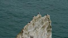 All Lined Up 8044 (Thorbard) Tags: travel sea seagulls white bird birds coast chalk rocks nest gull stack dorset rugged nesting studland englanduk blackbackedgull thepinnacles sigma18200mmf3563dcoshsm