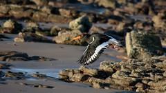 You chuck em i catch em (3peaker (alun.disley@ntlworld.com)) Tags: uk sun beach nature water weather birds animals rock inflight oystercatcher ornithology wallasey wirral newbrighton merseyside nikond7100 3peaker