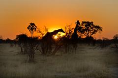 giraffes at sunset - botswana 6 (Russell Scott Images) Tags: botswana okavangodelta giraffacamelopardalisangolensis