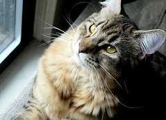 Golden Boy (zenseas working) Tags: seattle boy pet silly cat golden washington crazy kitten handsome special belltown sweetie leonardo dear polydactyl goldenboy pixiebob picmonkey:app=editor