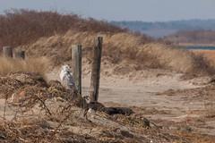 _G4H1052 (sswee38823) Tags: winter wild bird beach canon ma photography waterfront snowy wildlife massachusetts newengland owl snowyowl duxbury buboscandiacus ef100400mmf4556lisusm canoneos1dsmarkiii