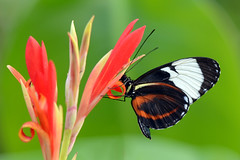 Colors (Rene Mensen) Tags: holland colors butterfly wings nikon drenthe emmen longwing cydno d5100