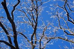After the storm (Cathy de Moll) Tags: blue light sky snow tree ice minnesota golden sparkle oaks blizzard