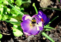 Garden bumblebee feeding on crocus (wightbern) Tags: flowers macro nature closeup flora nikon wildlife bees insects crocus isleofwight wildflowers d7000 sigma105mmf28exdgoshsm