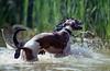 Wasserspiele - water games (borntobewild1946) Tags: dogs wasser sam schwimmen whippet luna nrw nordrheinwestfalen rheinland hunde toben wassertropfen greyhounds spielen weiher wasserspiele watergames windhunde balgen mischlingsrüde copyrightbyberndloosborntobewild1946 tobenspielenbalgen