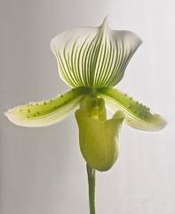 Orchid ((Virginie Le Carré)) Tags: white orchid fleur vert blanc contrejour orchidée sabotdevenus