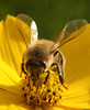 Bee (askyog) Tags: flower macro yellow bee beemacro beeface beeportrait beefront