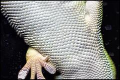 Once More from Below (MisterQueue) Tags: texture glass saint st garden botanical louis stlouis mo lizard textures missouri underside stick gecko saintlouis stl sticking textured missouribotanicalgarden mobot pebbled