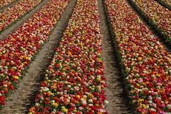 20140414-DSC_6670 (nikontino) Tags: flowers people dutch landscape tulip fields bulbs tulipa tulipe flowerarea