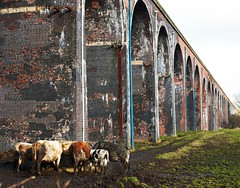 Too many walls! (dominiquita52) Tags: architecture cows vaches viaduc whalley lancashire