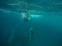 K-and-Upward-Bullet (Snirk) Tags: seal underwater gopro montague island seals narooma snorkelling animal