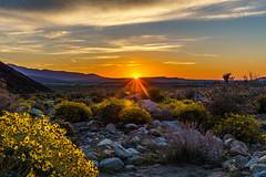 Sunrise at Palm Canyon (m e a n d e r i n g s) Tags: borrego palm canyon anzaborregodesertstatepark california san diego desertbloom spring wildflowers sunrise