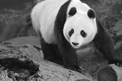 Happy Valentines Day from San Diego, California (Rita Petita) Tags: xiaoliwu sandiegozoo sandiego california china panda giantpanda specanimal explore specanimalphotooftheday