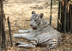 White Tiger (ravitejanadiminti) Tags: tiger whitetiger animal wild safari bangalore bannerghatta nationalpark trees canon canon80d leaves india wildanimal bengaluru karnataka cat bigcat outdoor