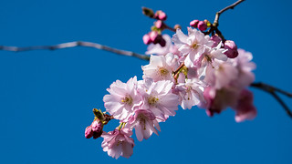 Zierkirschen-Blüte