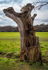 Bereft of Life (Khalid H Abbasi) Tags: death d90 nikon life outdoors nature tree trunk earlsdon coventry england warmemorialpark