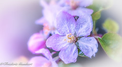Pink Rain (frederic.gombert) Tags: spring rain pink tree flower bloom blossom white trees red color colors macro flowers