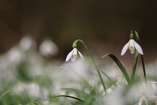Lovely snowdrops