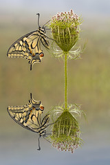 Papilion_V1_Digitally enhanced (HelmiGloor) Tags: papiliomachaon schwalbenschwanz ritterfalter olympusem1 olympusmzuikodigitaled60mm macro makro weiach schweiz schmetterling tagfalter butterfly