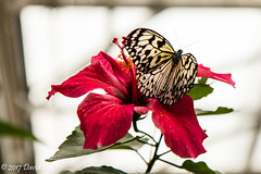 A taste of sweet nectar (david_law44) Tags: denverbutterflypavillion butterfly hybiscus red butterflypavillion pavillion nature insect plant flower