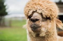 medina-7741 (FarFlungTravels) Tags: alpaca animal farm medinacounty onefineday shear wool