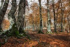 Muschio (SDB79) Tags: bosco sottobosco foglie muschio alberi foresta foliage parconazionaleabruzzo natura autunno pizzone