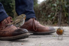 A Pair of Pairs (jillyspoon) Tags: robin robins shoe pair shoes pairofshoes robinsonshoes unusual unusualperch pairofrobins tworobins red redbreast park feedingrobins laceupshoes canon70d canon 40mmprime pancakelens canon40mm jillypoon flickr britishbirds birds rspb garden birdswildlifefeatherstametame bridgnorth shropshire