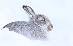 Mountain Hare (oddie25) Tags: canon 1dx 600mmf4ii hare mountainhare scotland scottishhighlands snow findhorn winter nature naturephotography wildlife wildlifephotography