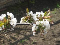 cherry blossom in odessa,ukraine  #flickrnature (valexclub) Tags: flickrnature