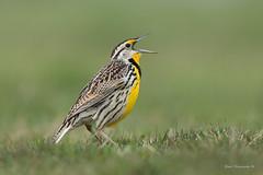 """""""Singing Lark.."""" (Earl Reinink) Tags: bird animal earlreinink earl reinink niagara meadow songbird spring singing easternmeadowlark"""