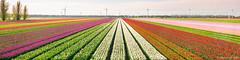 Tulips (© Jenco van Zalk) Tags: tulip tulp tulpen tulips colors field dutch typical netherlands row panorama