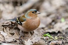 tDSC_0111 (Eyas Awad) Tags: eyasawad nikond800 nikonafs300mmf4 bird birds birdwatching wildlife nature fringuello fringillacoelebs