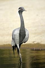 Grue demoiselle (olivier.ghettem) Tags: zoodeparis zoodevincennes zoo gruedemoiselle grue grues parczoologiquedeparis paris oiseau oiseaux bird birds afrique africa