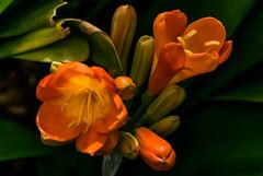 Primavera en el jardín. (Spring in the garden). (Víctor Pacheco.) Tags: jardínbotánico puertodelacruz tenerife botanicalgarden flor flower macrofotografía macro macrophotography