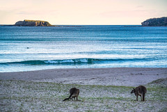 _DSC5464.jpg (David Hamments) Tags: dolphin kangarooonthebeach kangaroos grandpacificdrive pebblybeach flickrunitedaward batemansbay murramurangnationalpark