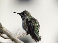 humming birtd (pandeesh89) Tags: hummer humming bird anna fort mason garden beauty colorful smaller nature birds feathers b700 nikon