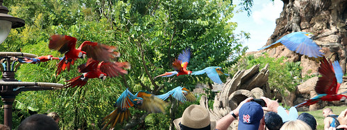 Macaw parrots in flight