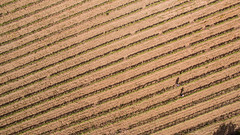 Two between the green lines (Santini1972) Tags: two vineyard lines pattern texture aerial phantom3 catalonia europe farming field vilamaniscle