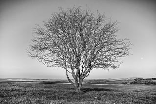 lone tree and tiny moon