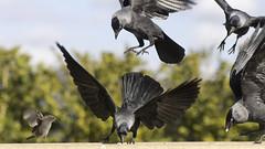 not scared (Niek Goossen) Tags: bird birds jackdaw black scared flying landing