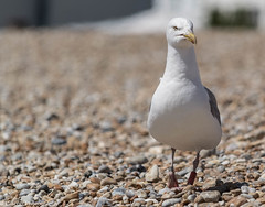 Seagull (Ellacott Photography) Tags: cambersands camber eastsussex editing lightroom nikond3100 photography seagull bird nature wildlife