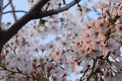 DSC_0466 (RiNA-87) Tags: cherry blossoms d3300