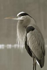 Gray day (John's Love of Nature) Tags: greatblueheron ardeaherodias