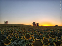 After sunset at Grinter Farms, 11 Sept 2016 (photography.by.ROEVER) Tags: leavenworthcounty kansas usa 2016 september september2016 grinterfarms sunflower sunflowers sunflowerfield sunflowerfields rural country dusk aftersunset latesummer