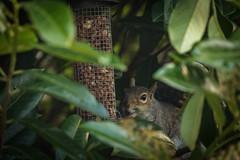 Caught in the Act! (Merrik76) Tags: squirrel essex wildlife tree birdfeeder peanuts garden