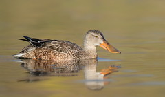 Northern Shoveler juvenile (mandokid1) Tags: canon canon500f4 1dx birds duck waterfowl